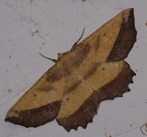 Moth - Euchlaena serrata - male