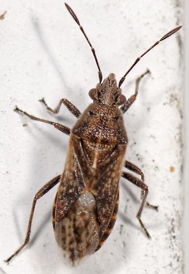 lygaeid - Neortholomus scolopax