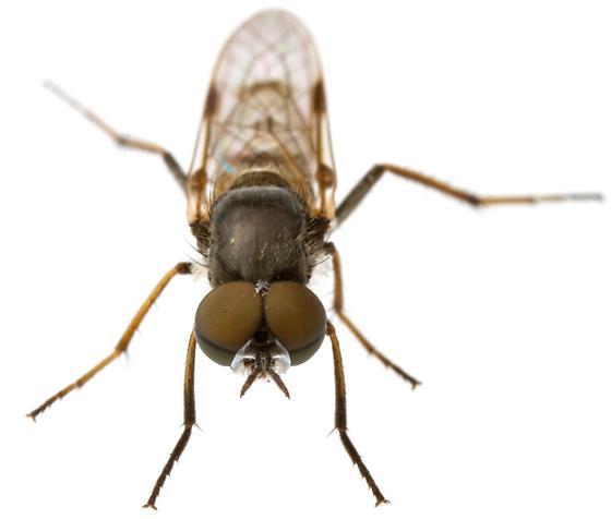 Ozodiceromyia?