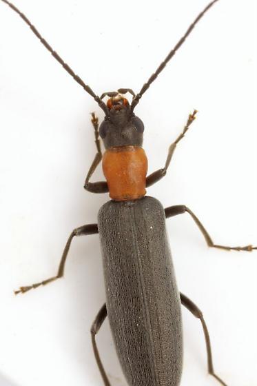 Oxycopis thoracica (Fabricius) - Oxycopis thoracica