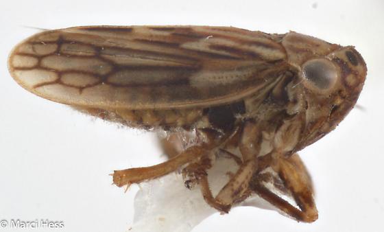 Hemiptera - Ceratagallia