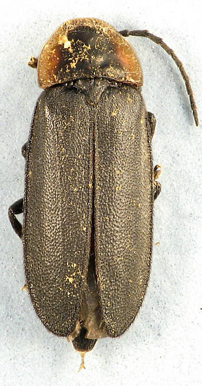 Pyropyga sp. - Pyropyga decipiens