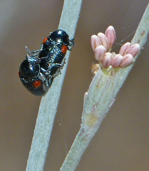 More Leaf Beetle Sex - Saxinis - male - female