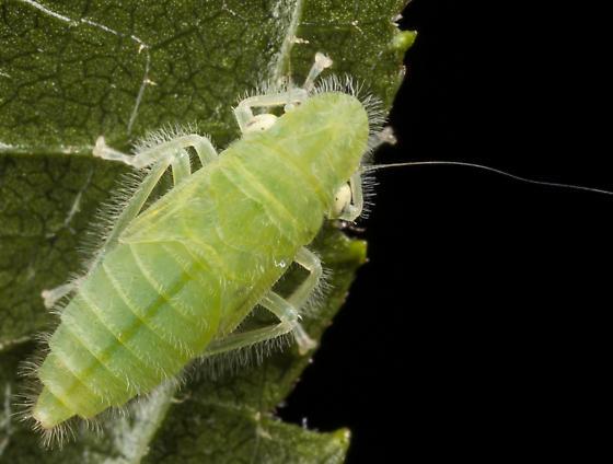 Leafhopper Nymph - Paraulacizes irrorata