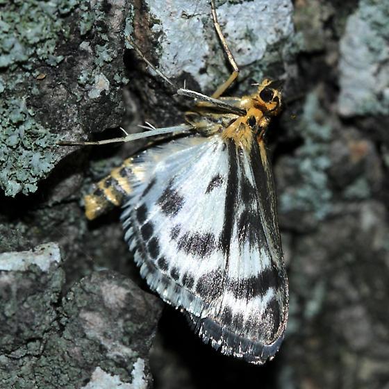 Micromoth - Anania hortulata