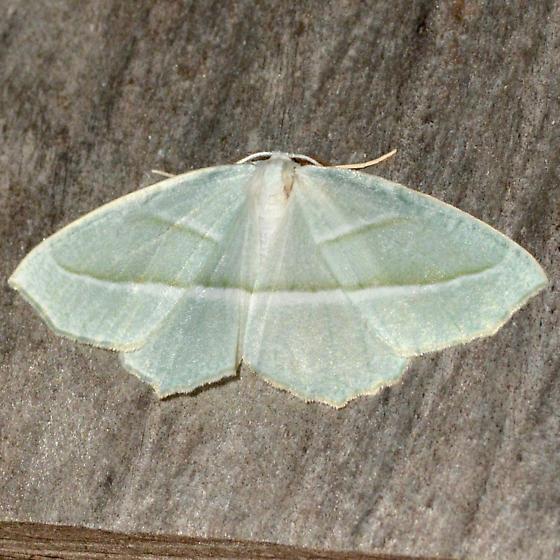 Pale Beauty - Campaea perlata - male