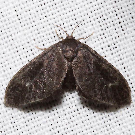 Fulgoraecia exigua - female