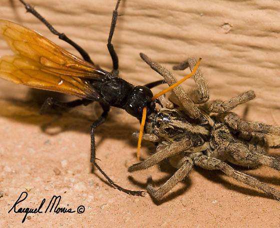 tarantula hawk yellow antenna confused on spider bugguide net