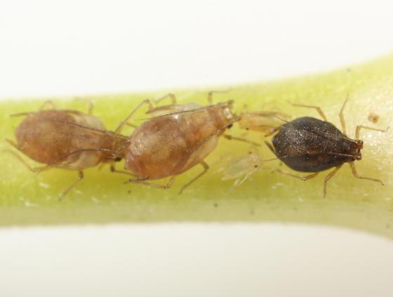 Bugleweed aphids - Hyalomyzus eriobotryae