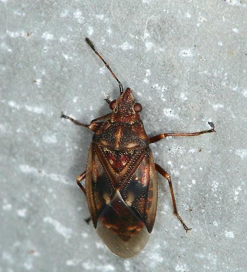perhaps another Birch Catkin Bug? - Kleidocerys resedae