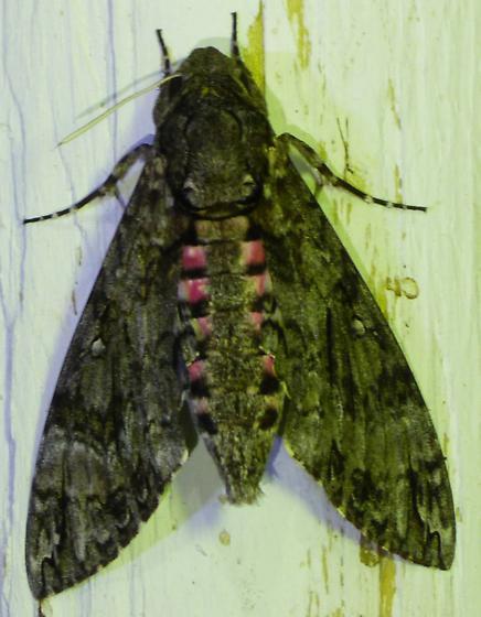 Manduca quinquemaculatus - Five-spotted Hawk Moth - Agrius cingulata