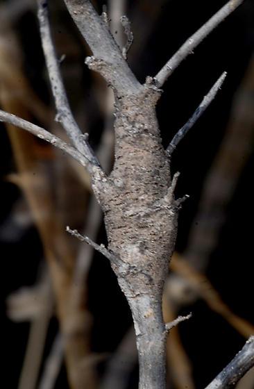Neolasioptera -Sphaeralcea ambigua gall - Neolasioptera