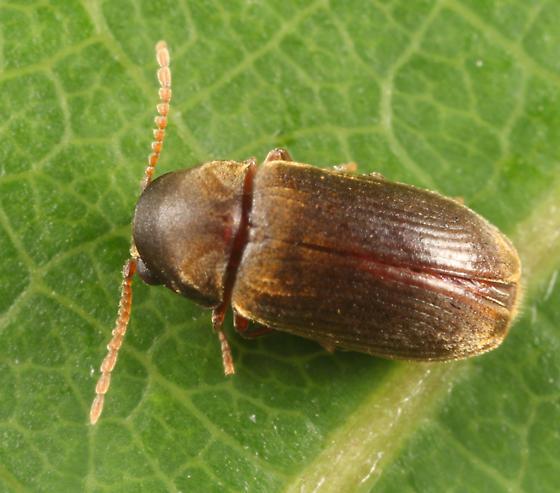 Priobium sericeum? - Euvrilletta peltata