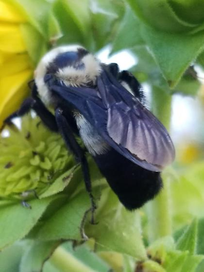 Bee on Rosinweed - Bombus fraternus