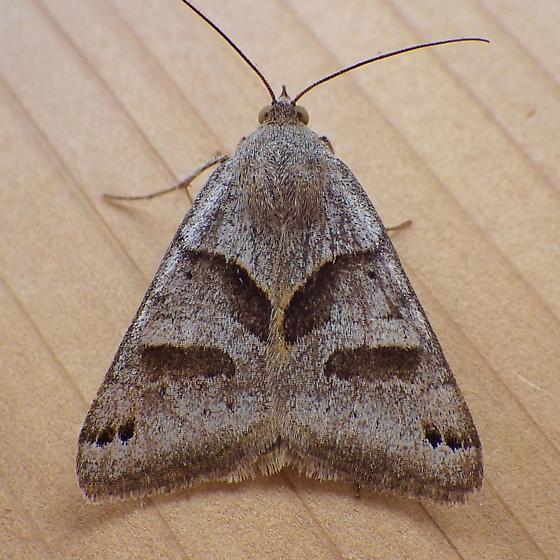 Erebidae: Caenurgina erechtea - Caenurgina erechtea