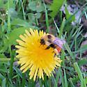 Red-belted Bumble Bee - Bombus rufocinctus
