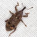 Weevil - Hilipinus nearcticus