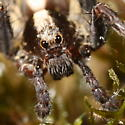 Five-legged wolf spider - Schizocosa