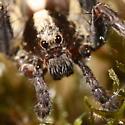 Five-legged wolf spider - Schizocosa