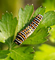 Caterpillars - a swallowtail but which one?? - Papilio polyxenes