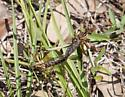 mating bugs  - Diogmites
