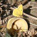 tiny Orange Sulphur - Colias eurytheme - male