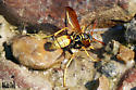 Wasp at Nephi Canyon, Juab County, Utah August 5, 2018 - Mischocyttarus