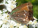 Brown & Patina Butterfly? - Callophrys gryneus