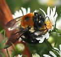 Bee - Xylocopa virginica - male