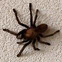 Tarantula - species? - Aphonopelma