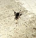 Brown Bug - Velarifictorus micado - female