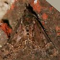 Baltimore Bomolocha Moth - 8442 - Dorsal - Hypena baltimoralis - male