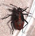 insect - Boisea trivittata