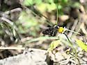 Skipper Butterfly?
