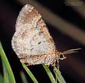 Geometridae - Xanthorhoe - male