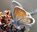 Western Pygmy-Blue - Brephidium exilis - male