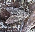 Mystery Sphinx moth3 - Manduca sexta