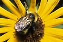 Bumble Bee - Bombus