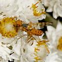 Tephritidae species - Terellia occidentalis