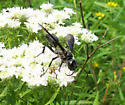 grass-carrier wasp - Isodontia apicalis