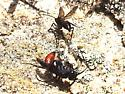 Wasp 1 - Priocnemis oregona