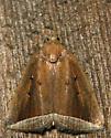 curved halter moth - Capis curvata