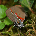 Red-banded Hairstreak - Lateral  - Calycopis cecrops