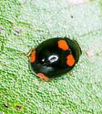 Is this a 4 Spot Sap Beetle ? - Brachiacantha quadripunctata