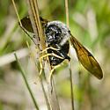 Megachile sculpturalis ? - Trichiosoma triangulum
