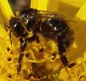 black bee - Bombus