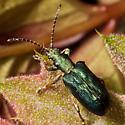 Aquatic Leaf Beetle - Plateumaris - female