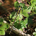 Black Shouldered Spinylegs? - Dromogomphus spinosus