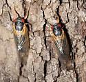 Cicada - Magicicada tredecassini