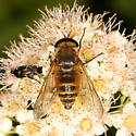 Deer Fly - Stonemyia tranquilla - male